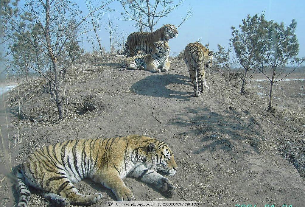 老虎 动物 自然景观 山水风景 摄影图 摄影图库 72 jpg