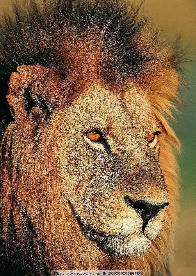 非洲雄狮 动物 世界 王者