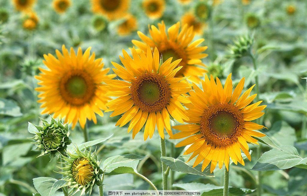 阳光下的向日葵 姐妹太阳花图片