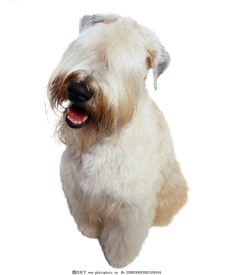 古牧 狗 犬 名犬 动物 宠物 可爱 宠物之狗 生物世界 家禽家畜 摄影