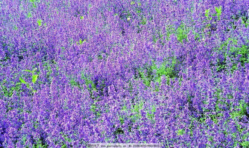 薰衣草 普罗旺斯 紫色 花丛 自然景观 田园风光 摄影图库 72 jpg