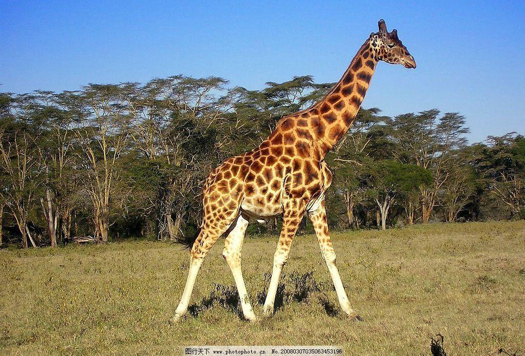 长颈鹿 蓝天 树林 草地 生物世界 野生动物 摄影图库 72 bmp