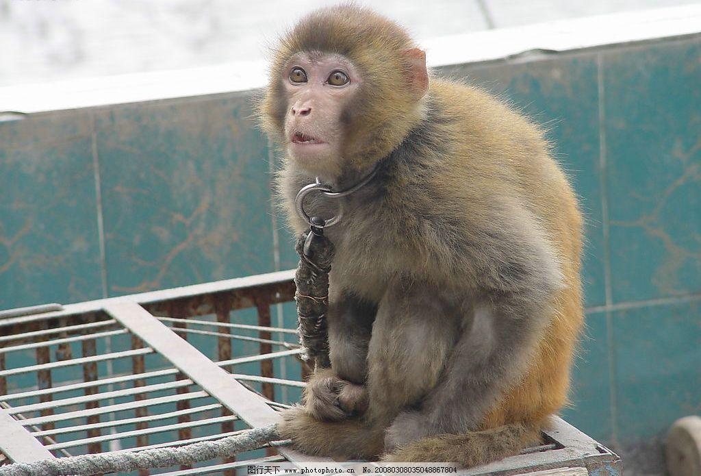 乞丐猴子 老年 蹲着 链子 笼子 猴子 生物世界 野生动物 摄影图库 72