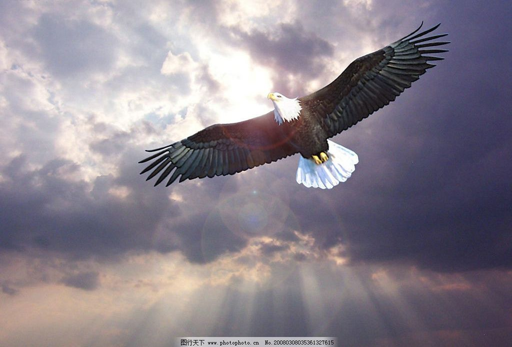 飞翔的鹰 飞翔 鹰 翱翔 生物世界 鸟类 摄影图库 300 jpg