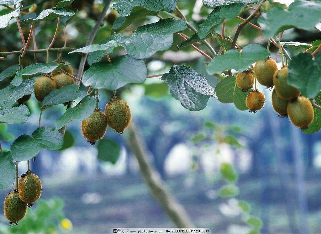 猕猴桃 树 果园 收获 自然景观 田园风光 摄影图库 350 jpg