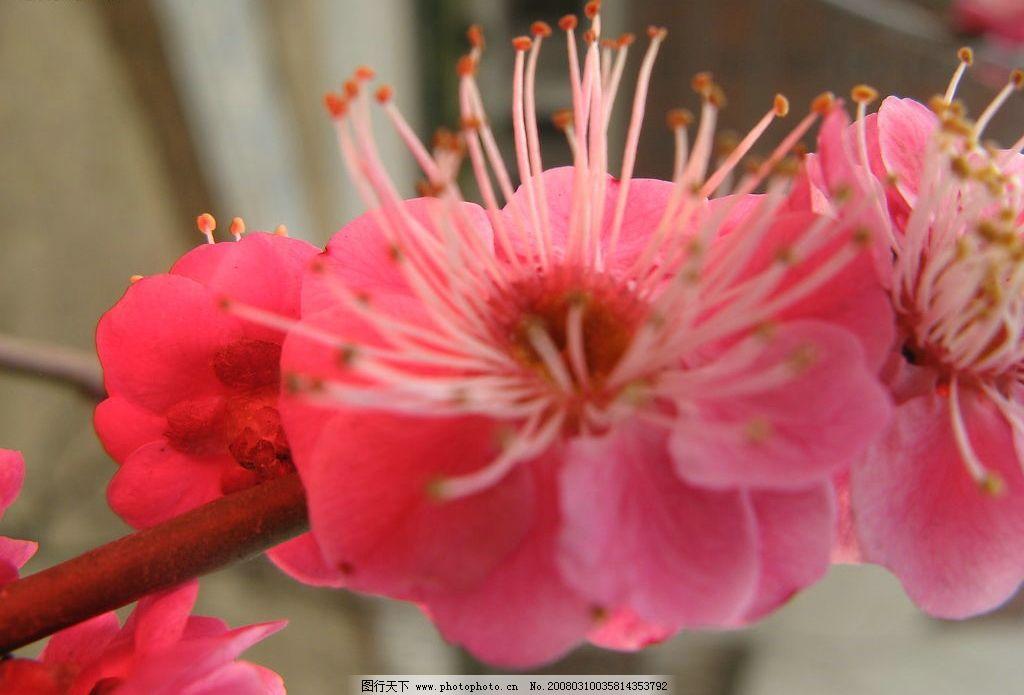 梅花3 梅花,花,红梅 生物世界 树木树叶 梅. 摄影图库 180 jpg