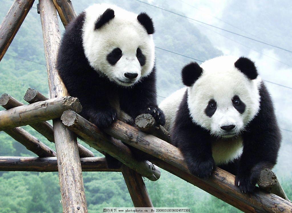 两只大熊猫图片