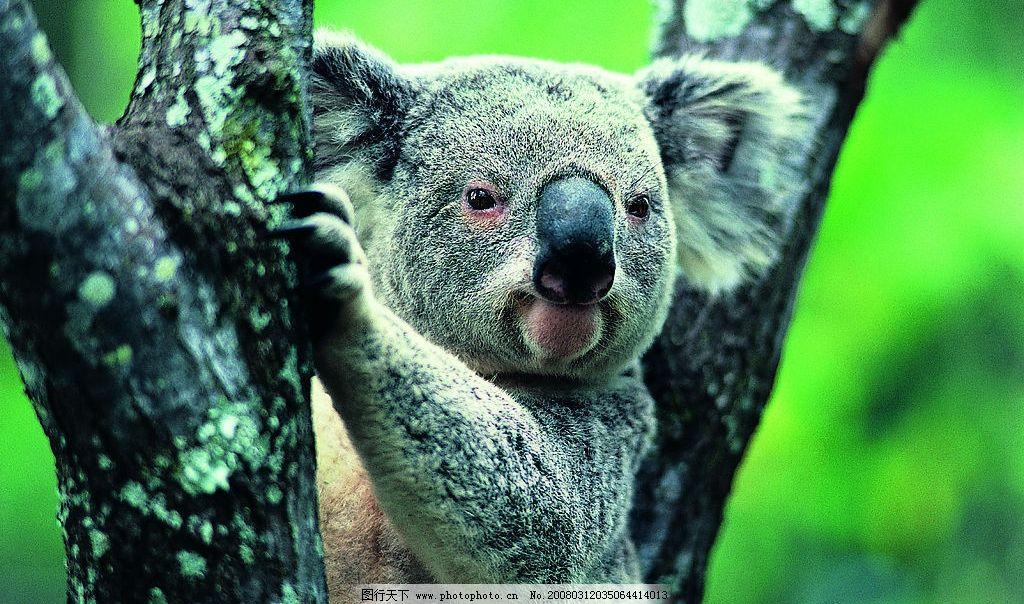 吐舌头的考拉 野生动物 动物世界 考拉 树熊 爬树 吐舌头 摄影 生物世