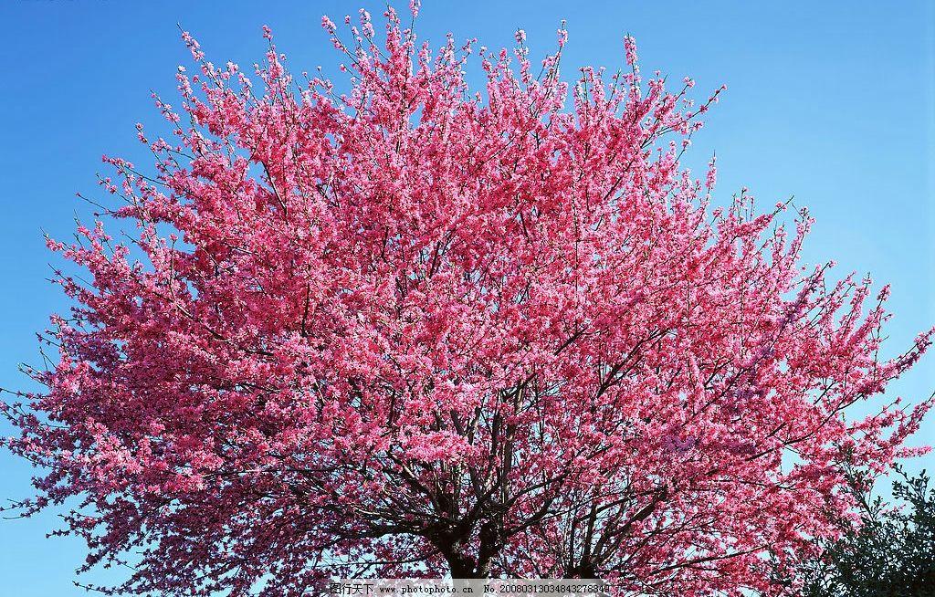 桃花树 树木 树林 森林 樱花 樱桃 自然景观 自然风景 树木青翠
