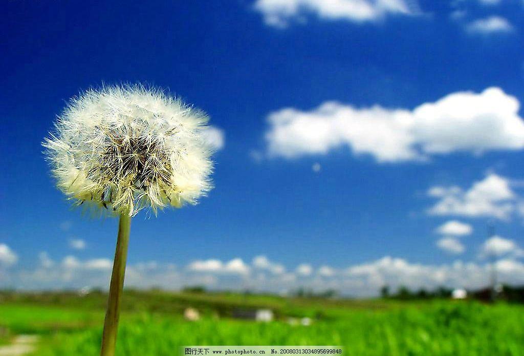 蒲公英 蓝天 绿草 自然景观 自然风景 摄影图库 300 jpg