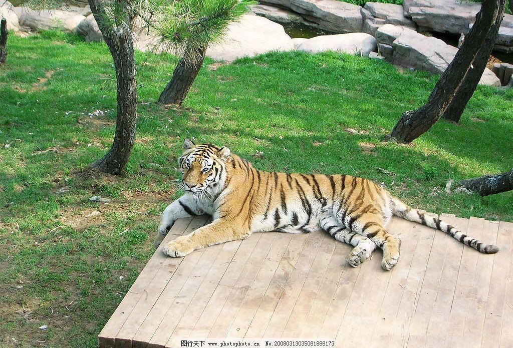 大连森林动物园老虎图片