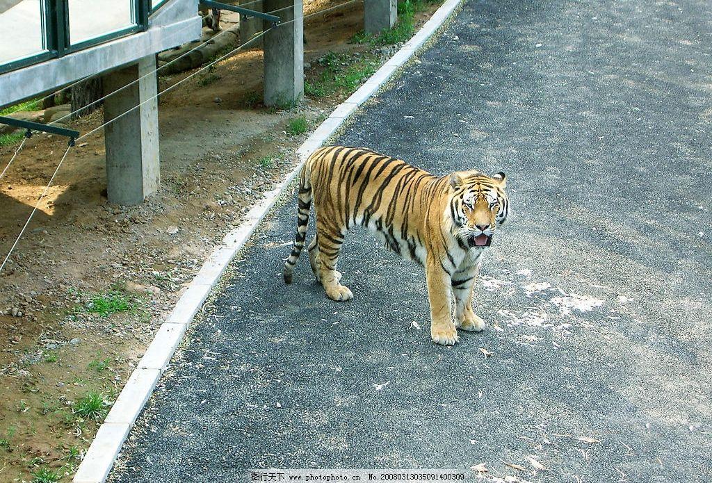 大连森林动物园--老虎图片