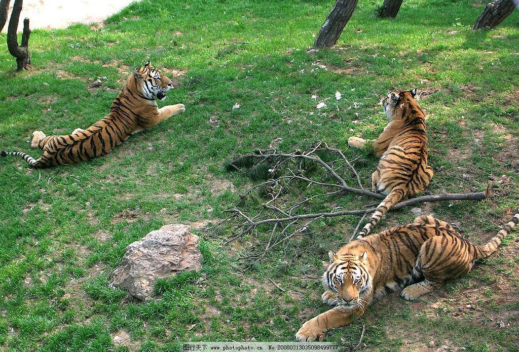大连森林动物园-老虎图片