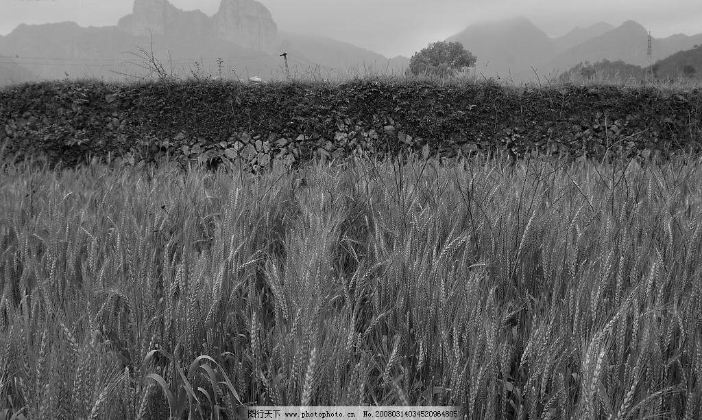 黑白照片 黑白 麦田 自然景观 田园风光 摄影图库 300 jpg