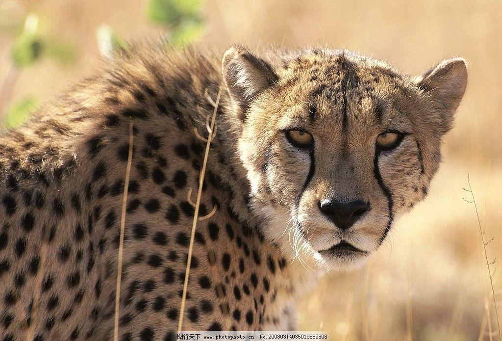 豹图 猫科动物 生物世界 野生动物 动植物百态 摄影图库 72 jpg