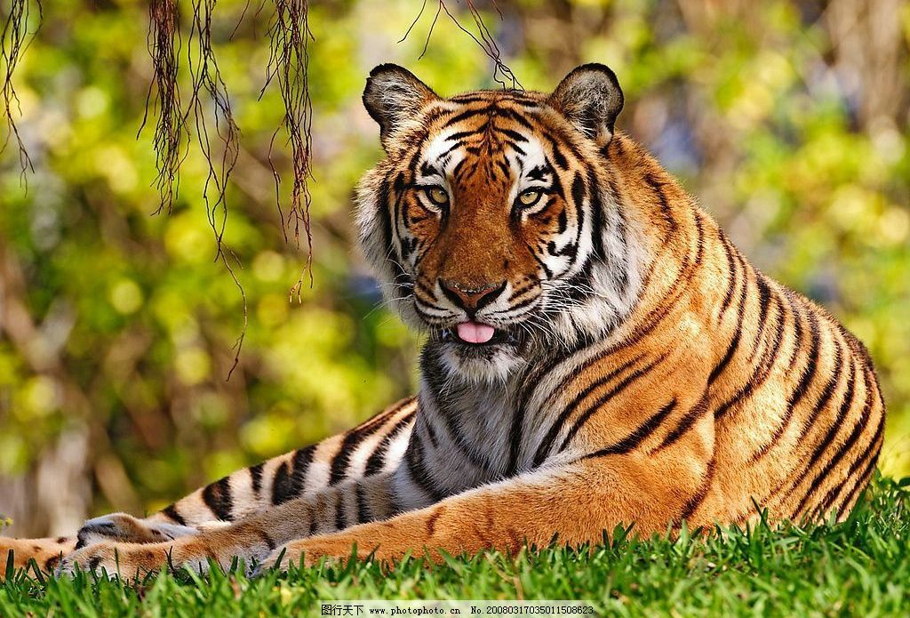 东北虎 东北虎的生活 和其他野生动物的区别 生物世界 野生动物 摄影