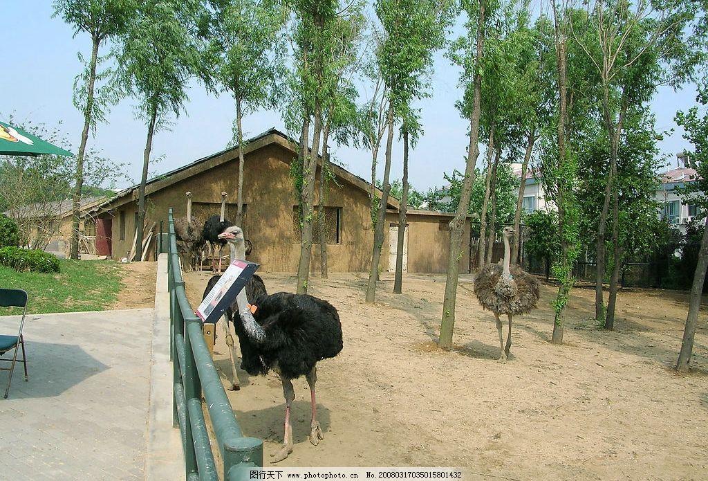 大连森林动物园-鸵鸟图片