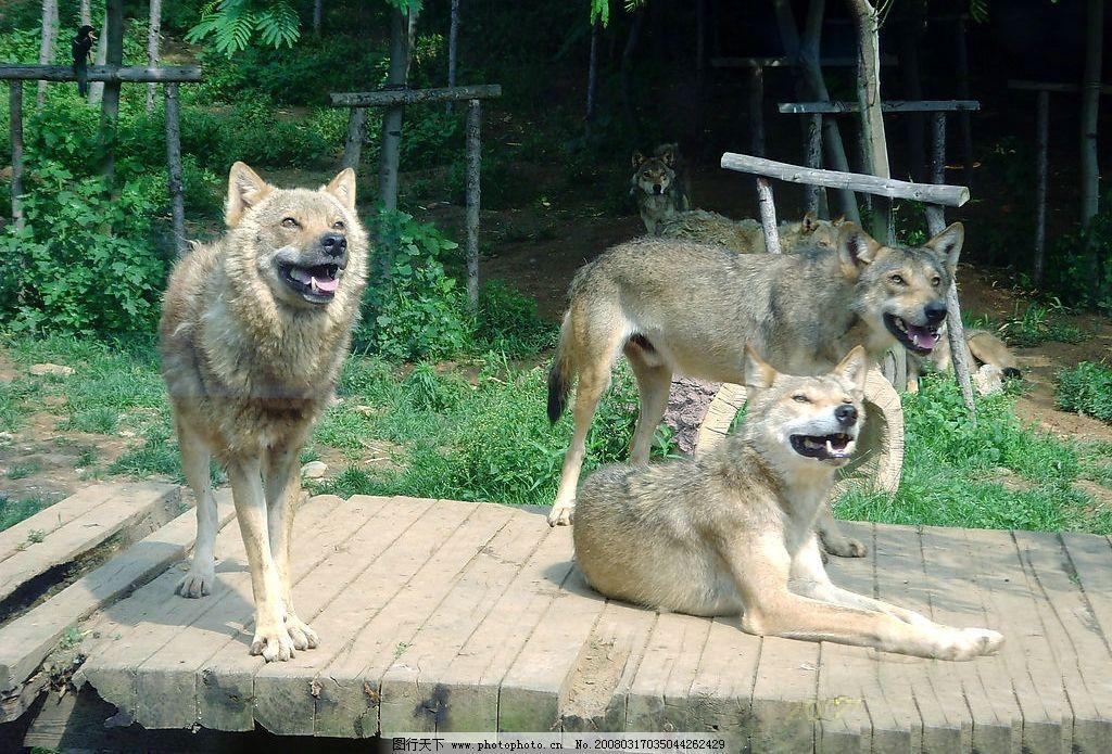 大连森林动物园-狼图片