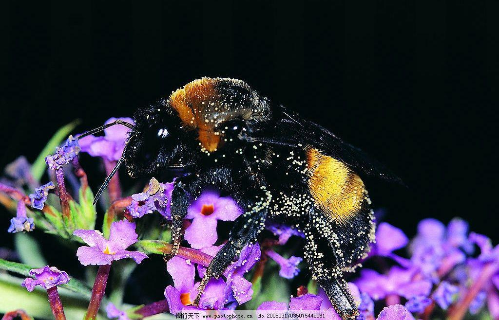 采花的蜜蜂 动物 昆虫 蜜蜂 采蜜 花 摄影 生物世界 野生动物 动物