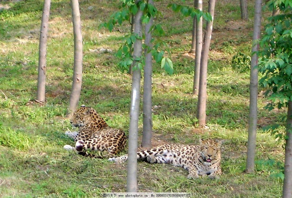 大连森林动物园-豹图片