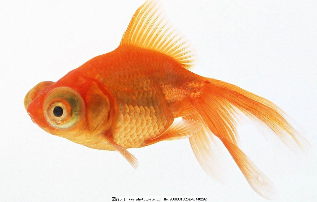 金鱼 海洋生物鱼类