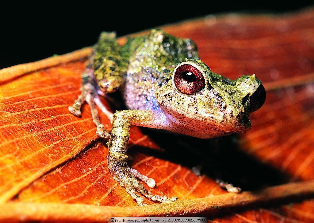 红眼青蛙 动物 昆虫 红眼睛 可爱 摄影 动物天地 摄影图库
