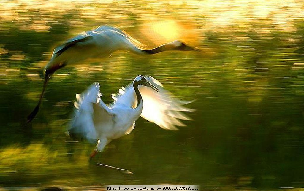 丹顶鹤风姿图片
