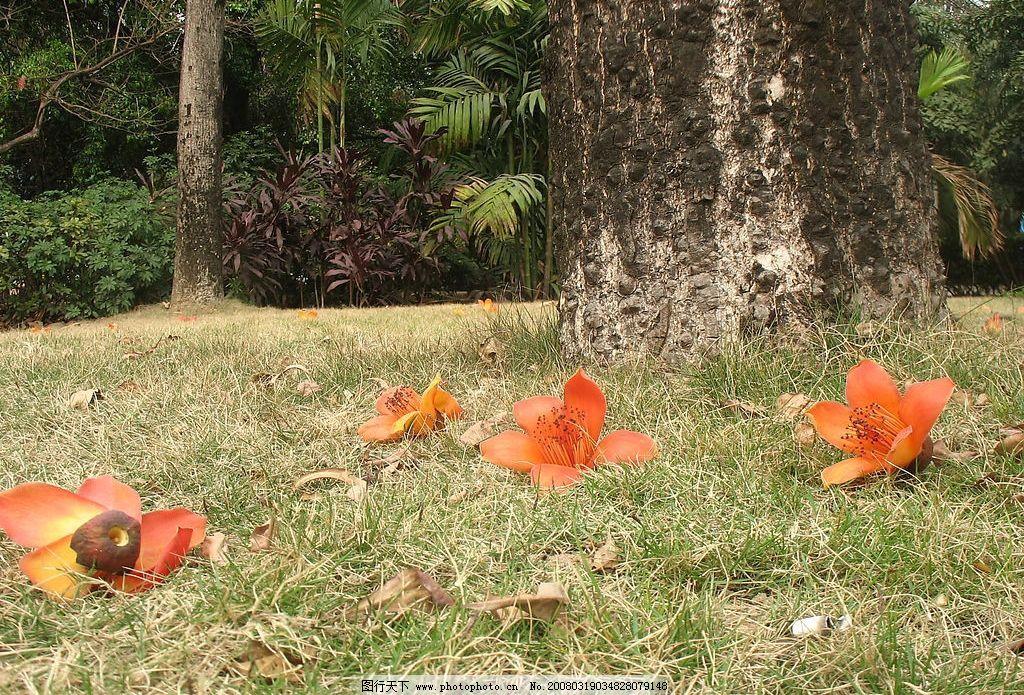 木棉花的春天图片