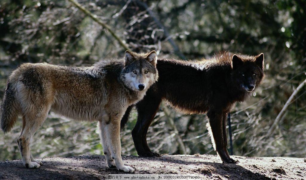 两只狼 生物世界 野生动物 摄影图库