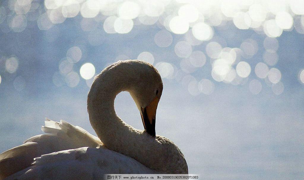 丹顶鹤 鹤在水边喝水 生物世界 鸟类 鸟趣横生 摄影图库 72 jpg