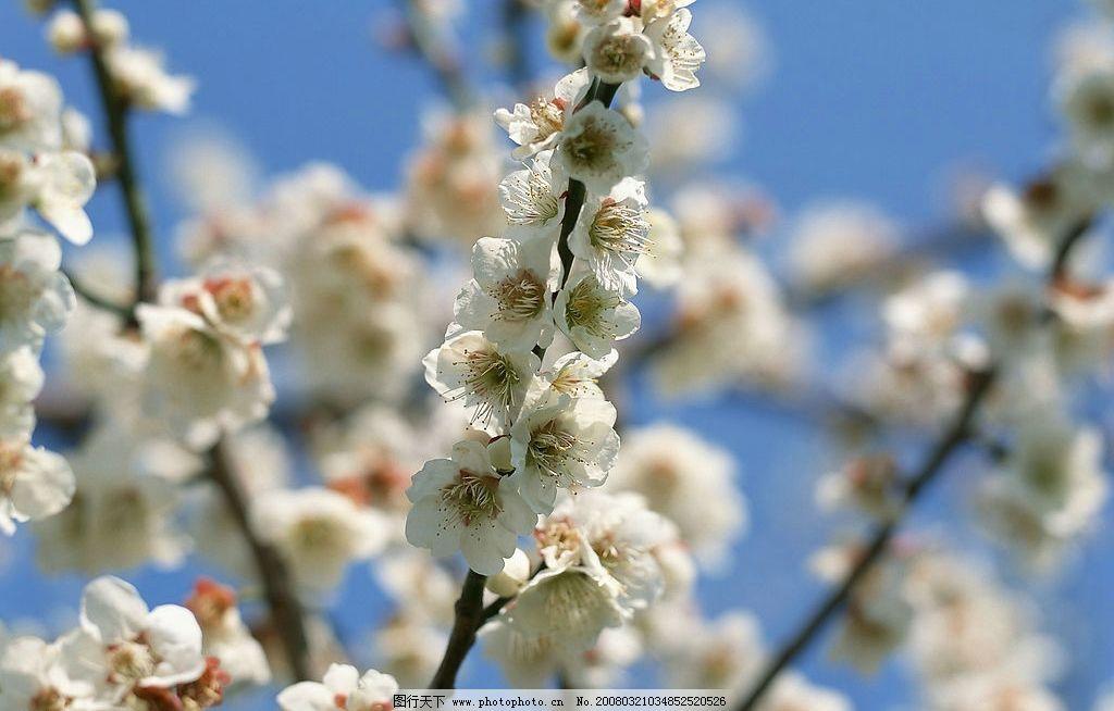 梅花 梅花,美景,春色,花, 自然景观 自然风景 百花齐放 摄影图库 350