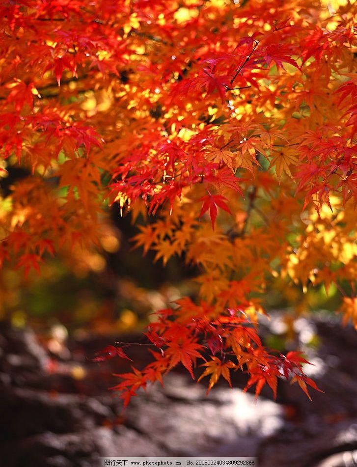 红枫 秋天枫叶 自然景观 自然风景 摄影图库