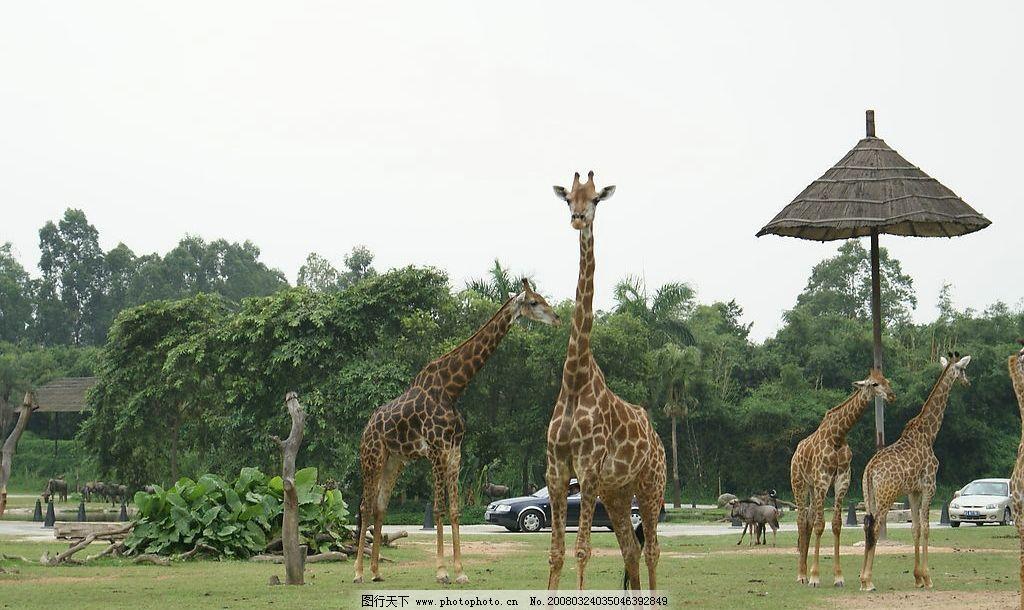 动物园的长颈鹿图片