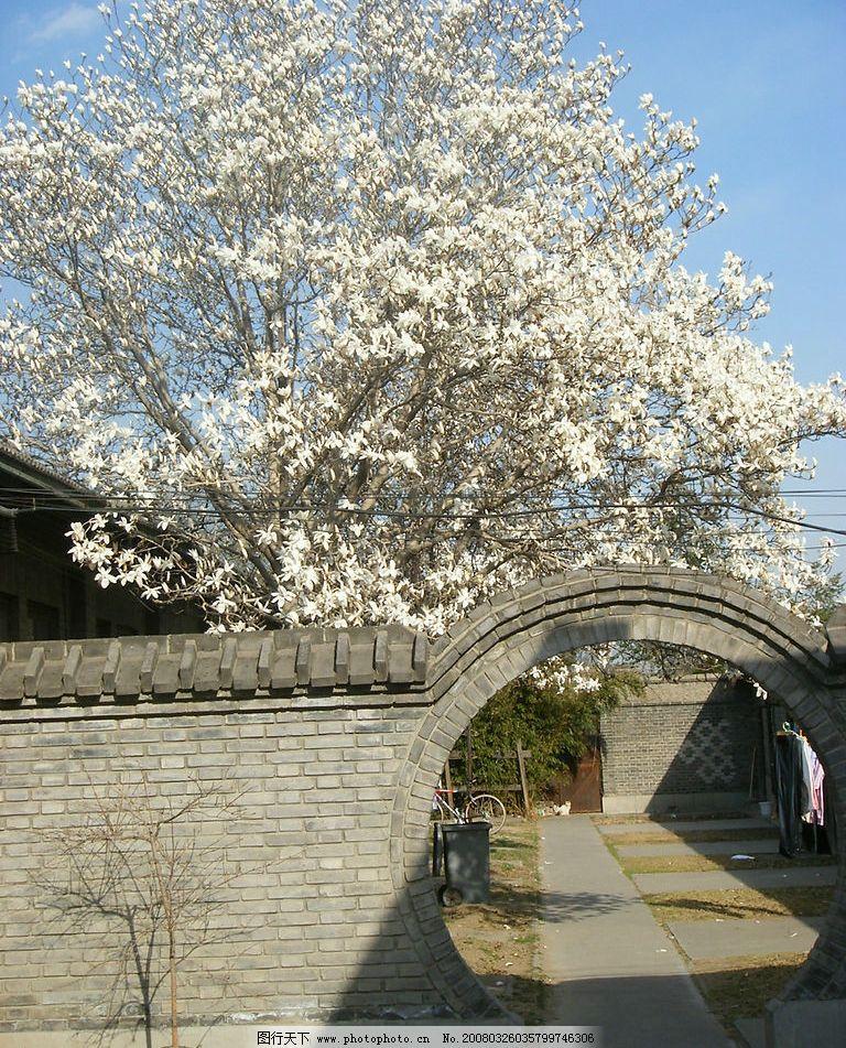 春天里的玉兰花 盛开的白玉兰花 灰色的圆形拱门 生物世界 花草 摄影
