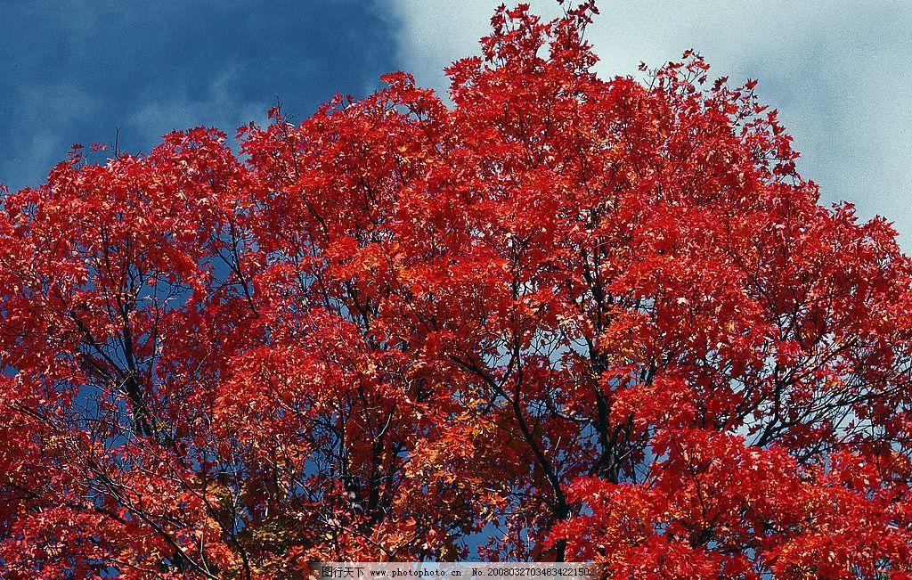 红松树 蓝天白云,红叶满树 自然景观 自然风景 摄影图库 300 jpg