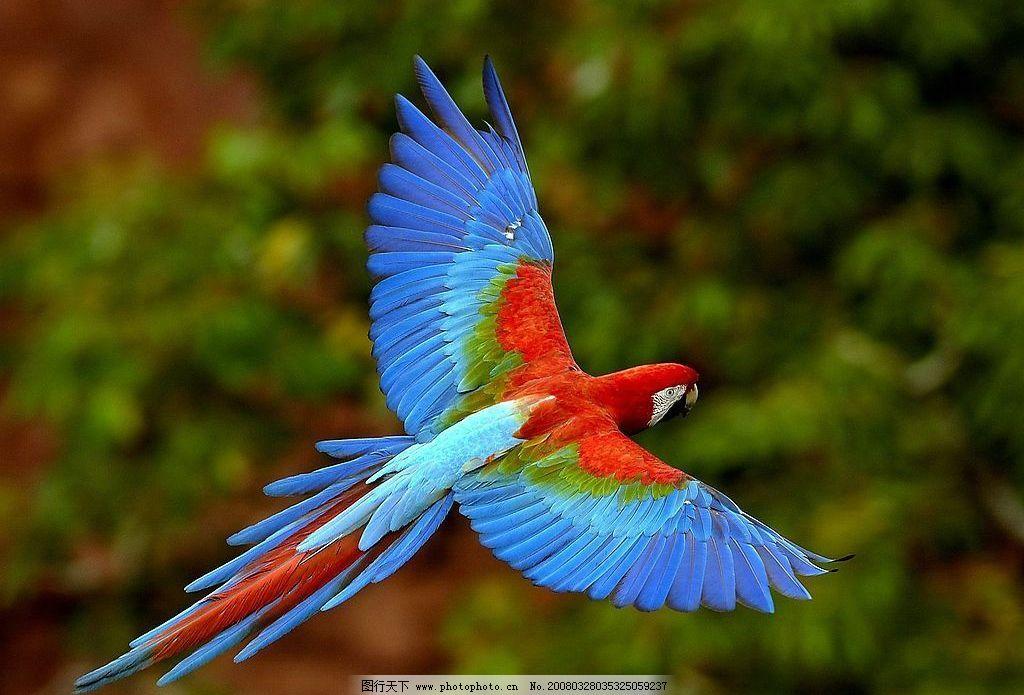 大鹦鹉 飞翔 鹦鹉 生物世界 鸟类 动物图片 摄影图库 72 jpg