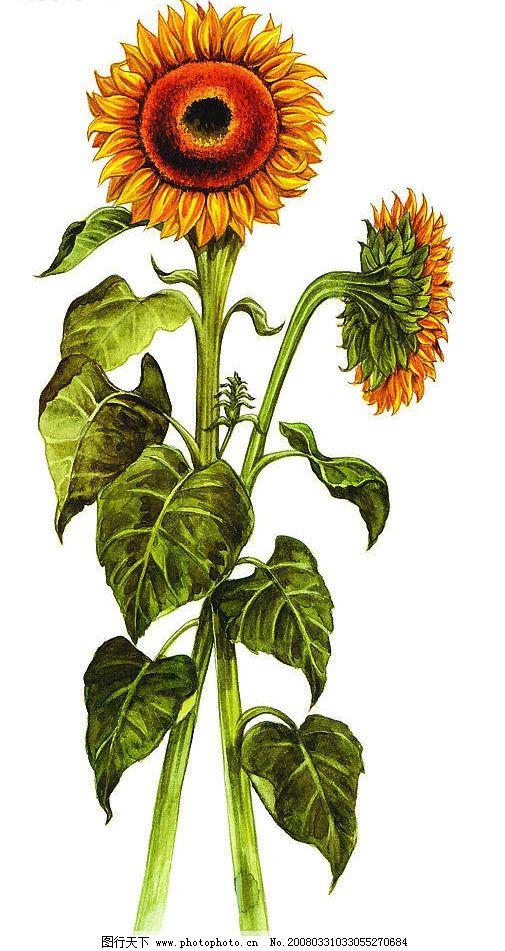 手绘向日葵图片