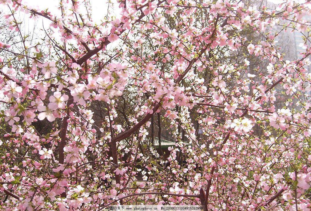 新春桃花 春天 清晰 粉红 园林 公园 旅游摄影 人文景观 光影世界