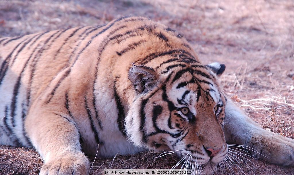 东北虎 老虎 生物世界 野生动物 摄影图库