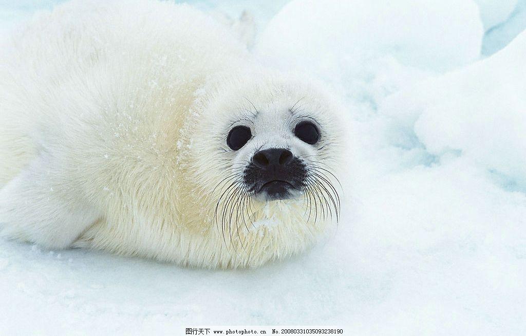海豹 海中动物 北极熊 生物世界 野生动物 摄影图库 350 jpg
